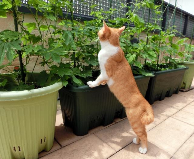 グリーンカーテンと猫の写真