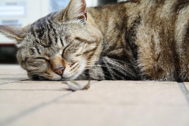 猫の寝顔写真