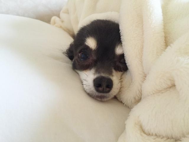 布団に包まった犬の写真