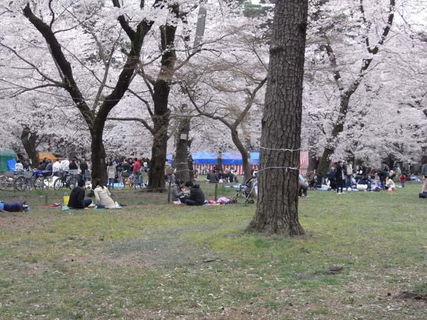 大宮公園桜1